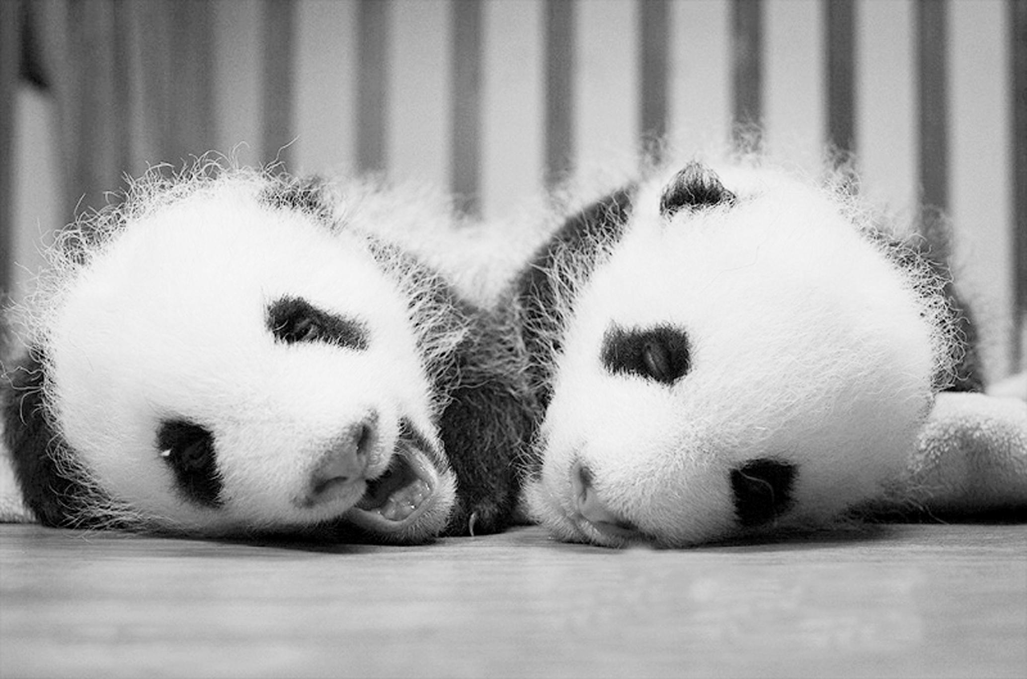 -->  让可爱的大熊猫拥有一个国际范儿的名字,或者让它们像人类一样有名有姓?12日起,成都大熊猫基地的大熊猫毛团团兄妹俩毛哥毛妹开始面向全球征名。为这对萌娃毛团团们起什么样的名字,一直都是熊猫粉丝们关心的话题。有些网友干脆提前给毛团团们取了一些幽默的名字,亲昵地戏称它们为:毛柔、毛顺,毛茸茸、毛哄哄,毛衣、毛裤等。目前,45日龄的兄妹俩都已睁开双眼感知这个世界。(新华)-->