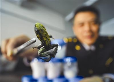 北京截获箭毒蛙活体1克蛙毒可致死1.5万人